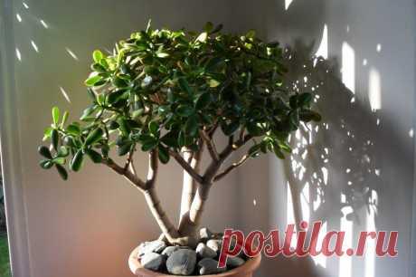 Как правильно формировать денежное дерево У многих из нас есть денежное дерево — «крассула», или «толстянка», иногда его также называют «деревом счастья», но далеко не всегда оно вырастает красивым. Из-за ошибок в уходе растение тянется вверх, его ветви тонкие, длинные, а листья есть только на верхушке. К сожалению, в городской квартире кра