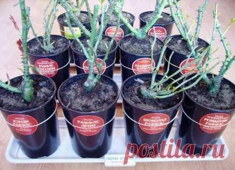 Саженцы розы: покупка и хранение ранней весной