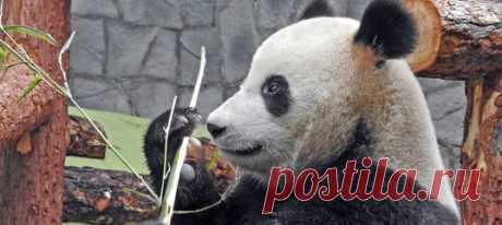 Московский зоопарк закрывается минимум до 10 апреля. Тем не менее за жизнью его обитателей можно будет смотреть с помощью онлайн-трансляций – и начинать со всеобщих любимиц Жуи и Диндин.