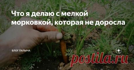 Что я делаю с мелкой морковкой, которая не доросла Умоляю вас, не спешите выкапывать и выбрасывать мелкую морковь с грядки! Я открою свой секрет: как самой ранней весной получить морковь полную всех полезных веществ, которыми она обладает в свежем виде. Именно весной - главный недостаток витаминов, а у меня они вот – в наличии!