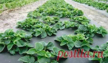 How to make beds under strawberry: examples and councils for arrangement