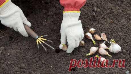 Посадка чеснока под зиму – все тонкости посадки зубками | На грядке (Огород.ru)