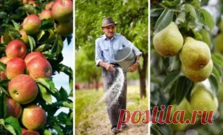 Чем подкормить яблоню и грушу осенью для лучшей зимовки и богатого урожая    Осеннюю подкормку яблонь и груш проводят после уборки урожая. Она призвана компенсировать дефицит питательных веществ в почве, а также помочь деревьям подготовиться к зиме.  Не секрет, что обильное…