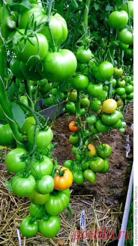 Ранние томаты от Партнера. Подготовка и посев семян на рассаду