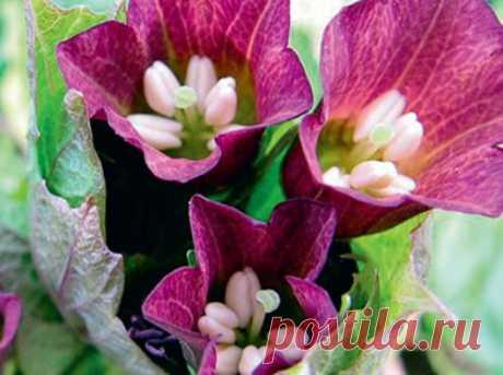 Мандрагора – сказочное растение на подоконнике