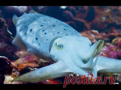 Blue Planet 2 - Episode 3 | Sneak Peak - Cuttlefish Hypnotizes Crab