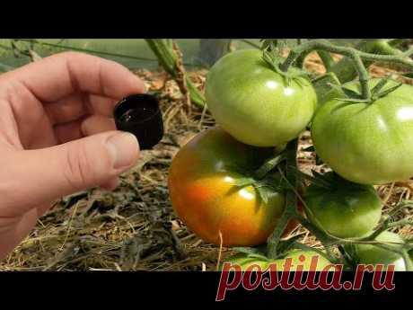 Томаты растут в 10 раз быстрее и дают большой урожай крупных томатов