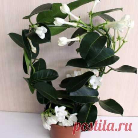 Stefanotis la planta muy hermosa