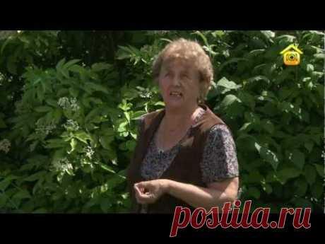 Уход за растениями: бузина чёрная. Виды, посадка, уход // FORUMHOUSE