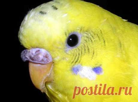 Нарост на клюве у волнистого попугая - как лечить и что делать?