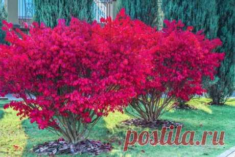 Бересклет — декоративный кустарник для яркой осени в саду. Виды, сорта, описание, фото — Ботаничка.ru