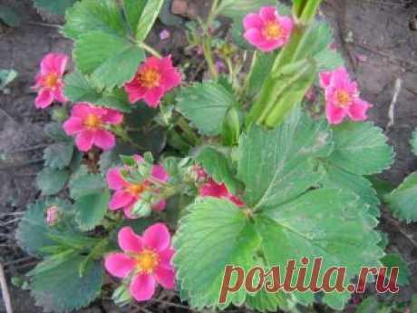 Розовая клубника: сорта с розовыми плодами, цветками, описание, отзывы