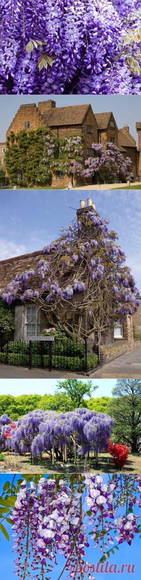 Великолепная глициния - фото. Уличные цветы и растения..