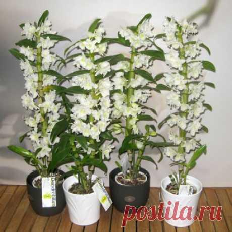 Орхидея Дендробиум Орхидея Дендробиум (лат. Dendrobium) – представитель одного из самых  обширных родов семейства Орхидные. В природе произрастает в основном как  эпифит (воздушная орхидея), что подтверждает его название Дендробиум, с  греч. «живущий на дереве». Некоторые виды растут на скалах (литофиты)  или на земле. Род дендробиумов насчитывает до 1200 видов, встречается в  Гималаях, Вьетнаме, Китае, Индонезии.