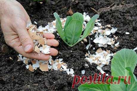 Заботясь о натуральности, экологичности выращенных овощей, многие огородники задумываются над альтернативными, органическими вариантами подкормок для огородных культур. Яичная скорлупа как удобрение для растений один из наилучших заменителей химическим растворам, производственным добавкам. Ее полезные свойства в качестве дополнительного питания для овощных культур используются садоводами с древних времен...