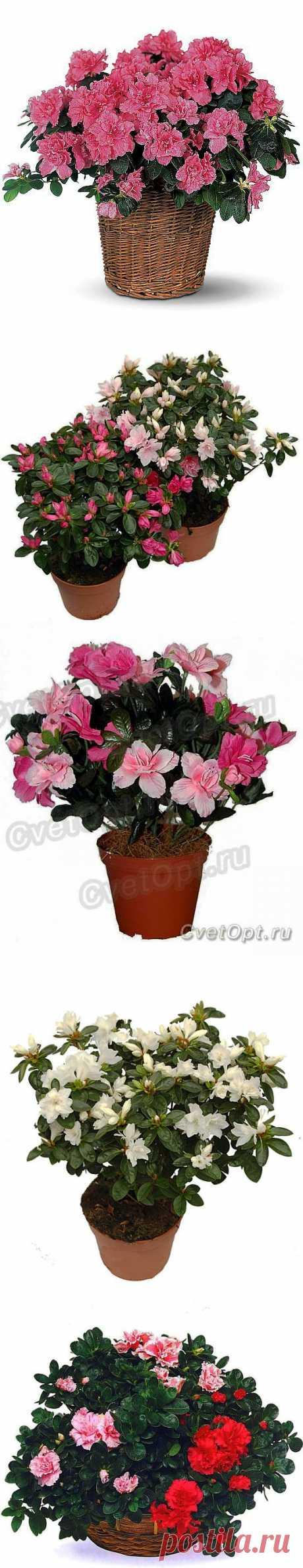 Азалия – растение красивых женщин.