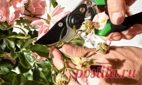 Уход за розами после цветения: 5 обязательных процедур - Цветочки - медиаплатформа МирТесен