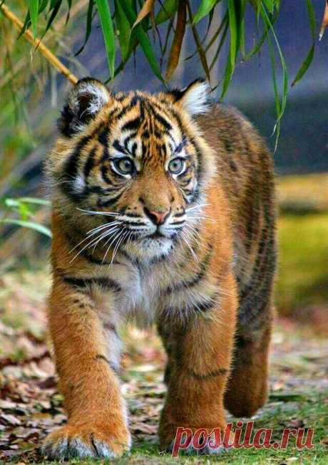 «Тигрёнок #Кот #Пушистое_мимими #большие_кошки #baby_animals #cute_animals #милые_животные #бенгальский_тигр» — карточка пользователя Александр Бобров в Яндекс.Коллекциях