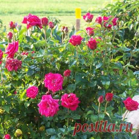 Бордюрные розы миниатюрные: фото, сорта, посадка и уход с размножением