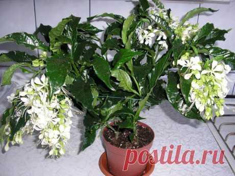 Клеродендрум Уоллича: описание и история возникновения, уход в домашних условиях за растением Валичи, а также фото цветка