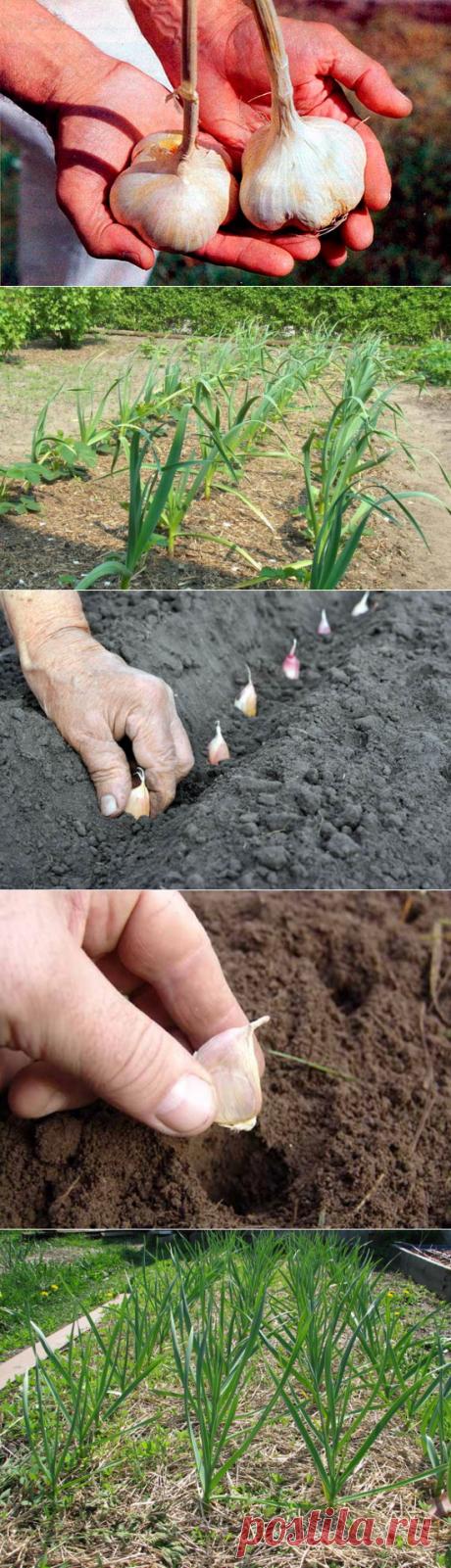 Чтобы чеснок вырос крупным — 6 соток
