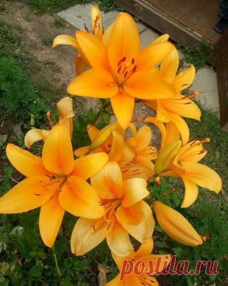 4 основных причины, по которым цветки лилии уменьшаются в размере или мельчают