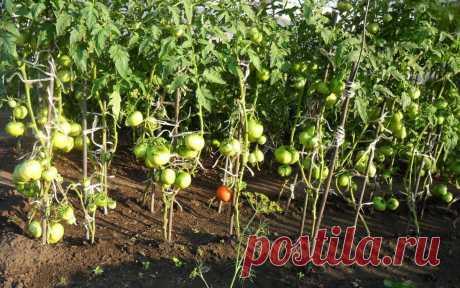 Народные средства для подкормки помидоров – самые лучшие рецепты   Томаты можно подкармливать не только готовыми удобрениями на основе химических соединений. Также отлично зарекомендовали себя натуральные подкормки, благодаря которым растения дают хороший урожай. В…