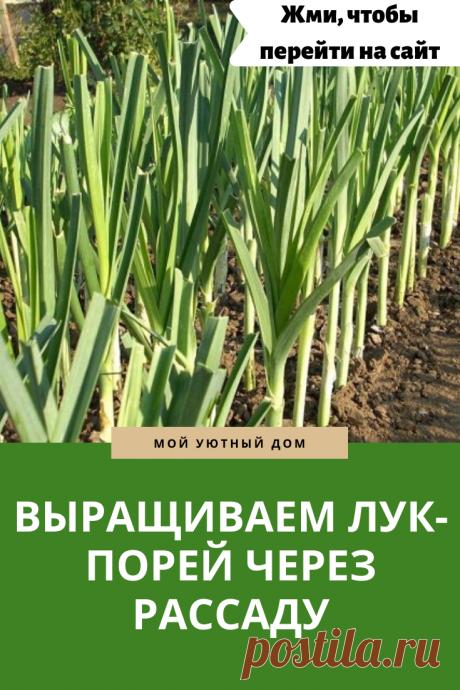 Секреты выращивания лука-порея