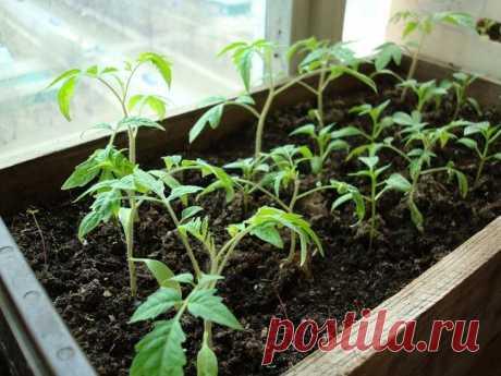 Выращивание рассады томатов в домашних условиях Продуктовые рынки полны томатами разных сортов, но это игнорируют те, кто предпочитает все максимально натуральное и домашнее. У помидоров, выращенных в домашних условиях, имеется множество плюсов – и...