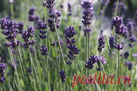 11 советов от профессионалов: как правильно выращивать лаванду