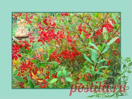 Барбарис нужен в любом саду | Сад Жизни | Яндекс Дзен