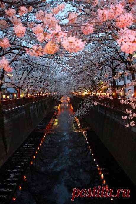 Для японцев цветение сакуры – национальный праздник, уходящий глубоко в историю. Во времена императора Сага под ветвями цветущих деревьев сакуры стали собираться приближённые императора, самураи и поэты, воспевающие красоту цветущей сакуры в стихах и прозе.