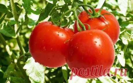 Йод и медный купорос спасают мои помидоры ...
