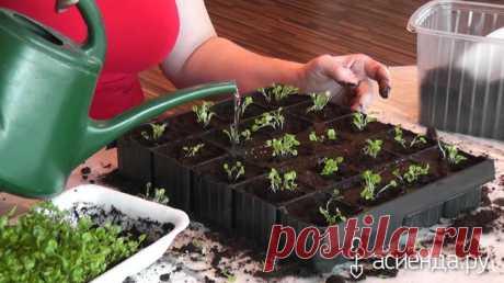 Выращивание лобелии. Посев и пикировка.: Группа Практикум садовода и огородника