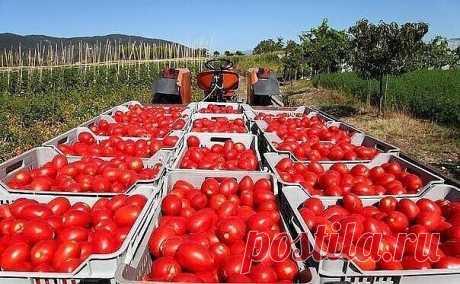 ВЫРАЩИВАНИЕ ПОМИДОР ПО МАСЛОВУ.  УВЕЛИЧЕНИЕ УРОЖАЯ В 8 РАЗ!  Наблюдая в течение многих лет за развитием томатных растений, я пришел к выводу, что для того, чтобы обеспечить налив большого количества плодов, нужна мощная корневая система.  Увеличить ее я пробовал двумя способами.  Первый — посадка рассады не вертикально, как это обычно принято, а лежа. В заранее подготовленную борозду укладываю не только корень, но 2/3 стебля, предварительно удалив с этой части листья. Засы...