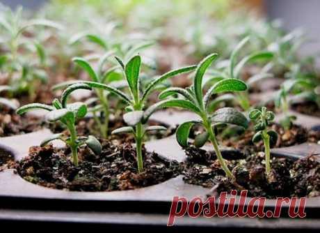 Розмарин из семян – как добиться хорошей всхожести и получить крепкие сеянцы