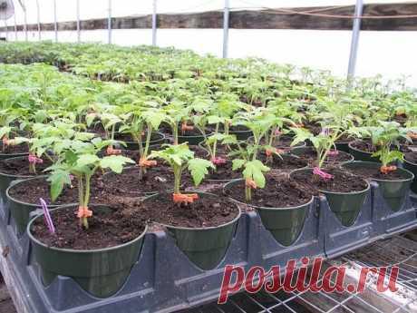 Агротехнология получения щедрого урожая! ПОМИДОРЫ С ПРИЩЕПКАМИ | 6 соток