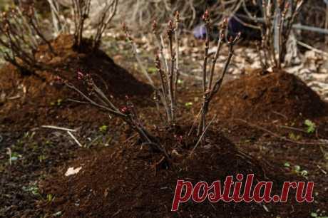 Семь шагов к созданию розария легкого ухода