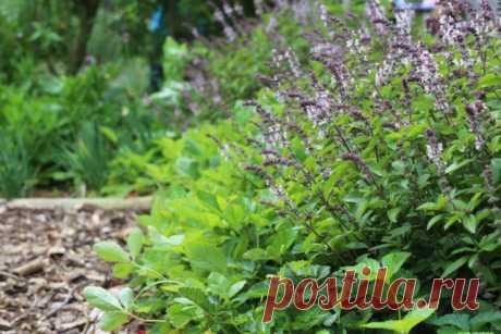 Los ribetes y las cercas para la huerta de las plantas medicinales