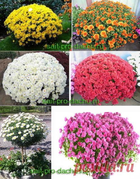 Формирование куста хризантемы