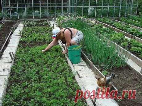 ✔ ПОЛЕЗНЫЕ СОВЕТЫ   Совет 1: ЧТО  НУЖНО ТОМАТУ (АВГУСТ - СЕНТЯБРЬ)   Вообще томат должен являть собой мощное растение с сочным стеблем и ярко-зелеными листьями. В июле-августе, когда питание растений от корней переходит на второй план, применяем внекорневые подкормки жидким комплексным удобрением или своё самодельное удобрение. Когда растения вступают в фазу плодоношения, я готовлю для помидоров угощение, используя для этого йод, золу и борную кислоту.     Делается оно так: золу (1,5-2 л) развож