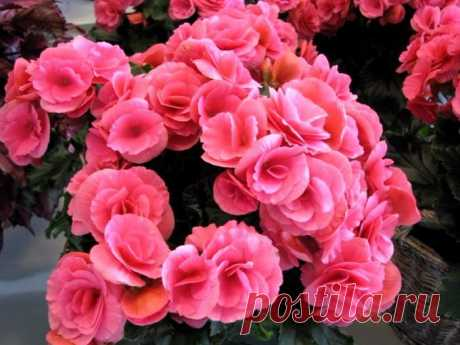 The BEAUTY the BEGONIA ON YOUR WINDOW SILL! There are decorative blossoming and decorative and deciduous types. All representatives of family: grassy, kustovidny and klubnevy are at rest from October to February. Begonia flowers …
