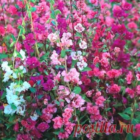 Кларкия изящная Неприхотливое растение семейства Кипрейные с ветвистыми стеблями высотой до 60 см. Цветки белой, розовой, пурпурной окраски, до 3-4 см в диаметре. Цветет обильно с конца июня до конца августа. Холодостойка и светолюбива, к почвам нетребовательна.  Размножают семенами, которые высевают в апреле в открытый грунт или полутеплый парник. Всходы появляются через 10-14 дней. На постоянное место высаживают в конце мая, закалённые растения легких заморозков не боятс...