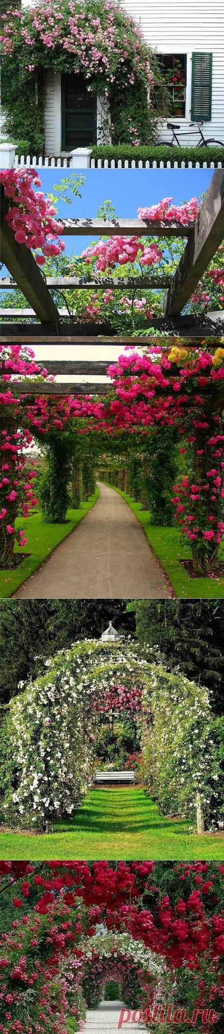 Вьющиеся розы – цветы, которые украсят ваш дом
