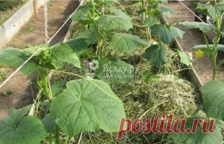 Выращивание огурцов в траншеях в три этапа Как посадить и вырастить огурцы в траншеях. Посев семян огурцов в ящики и пересадка в горшки. Что делать, чтобы максимально укрепить корни рассады