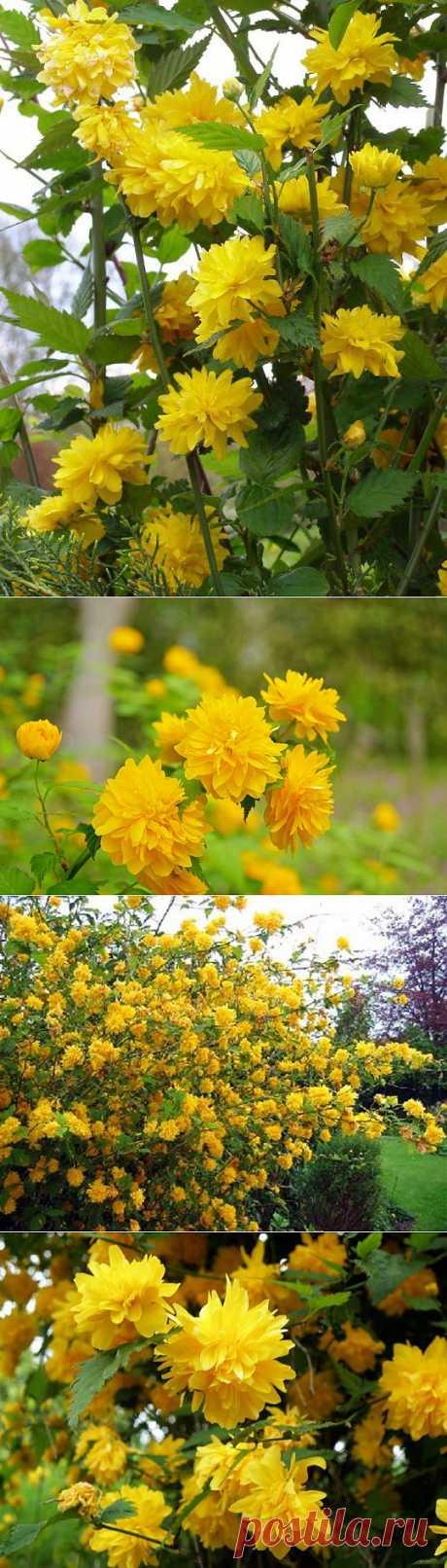 Керия - японская роза   6 соток