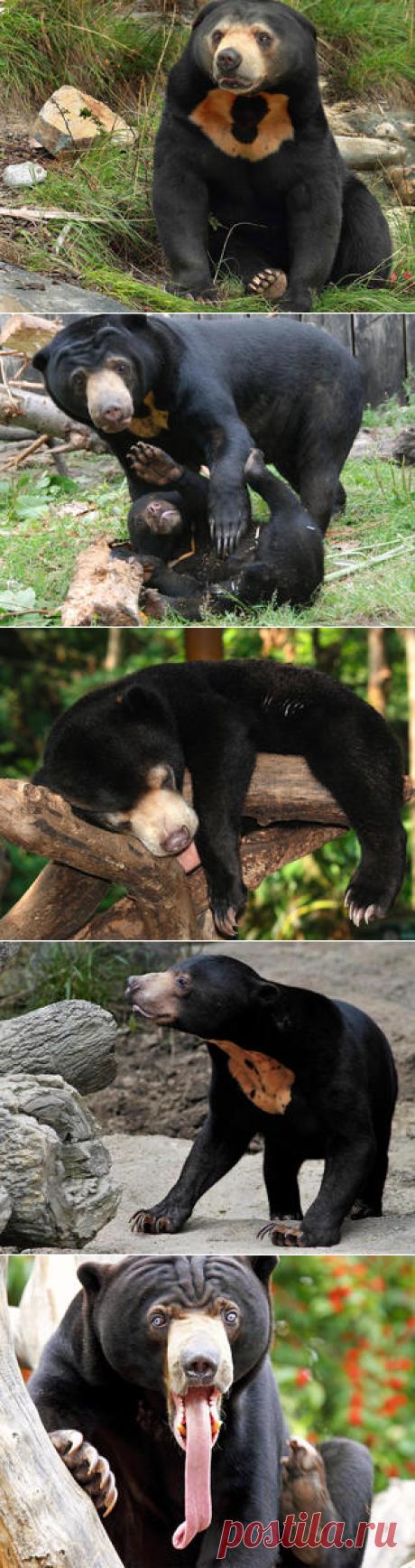 Смотреть изображения малайских медведей | Зооляндия