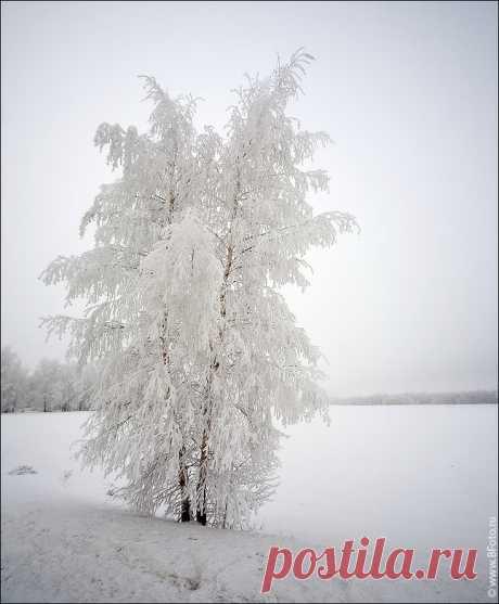 белой березы зимой в инее, зимняя красавица фото высокого качества