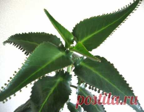 ЛЕЧИМ ВАРИКОЗ  При варикозе хорошо на ночь натирать ноги снизу вверх настойкой листьев каланхоэ.  Рецепт настойки: Показать полностью…
