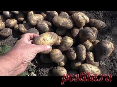 Выращивание картофеля, практический опыт огородников.